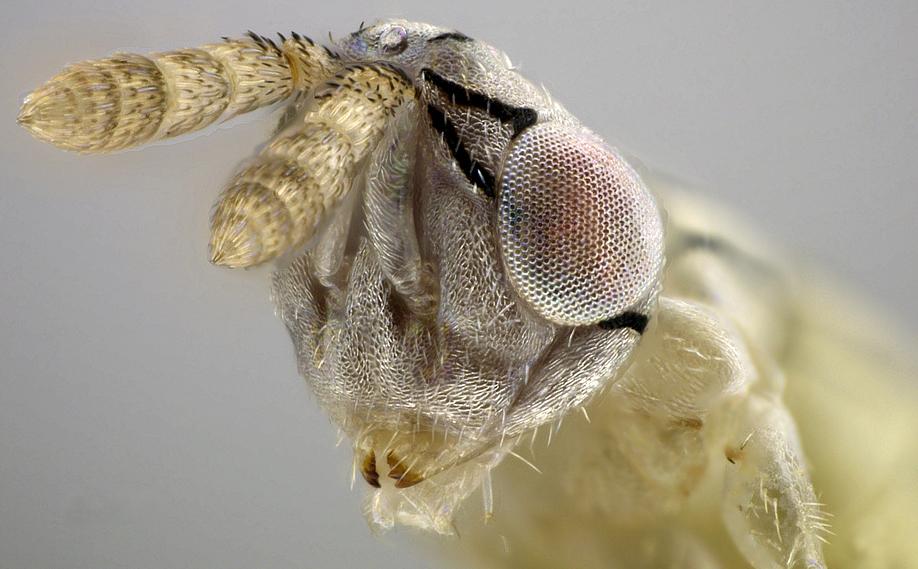 Female face and antennae of Zagrammosoma dulanense. Photo courtesy Ryan Perry (UCR).